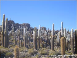 Giant cacti on Incahuasi Island, Bolivia