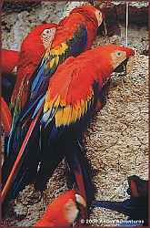 World's largest macaw clay lick